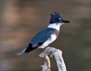 Male Belted Kingfisher. Canon 40D with 300mm f/2.8L IS, 580EX flash with Better Beamer in ETTL mode FEC 0.
