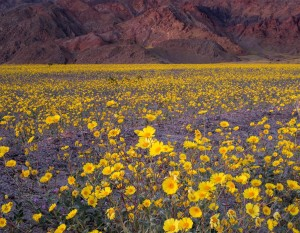 02_deathvalleybloom-national-geographic